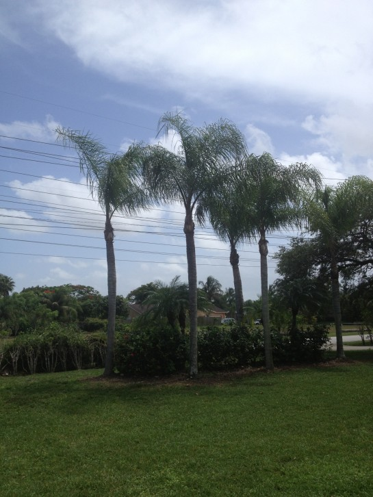 Arborist-Miami-Why-Do-Palm-Tree's-Leaves-Have-White-Spots