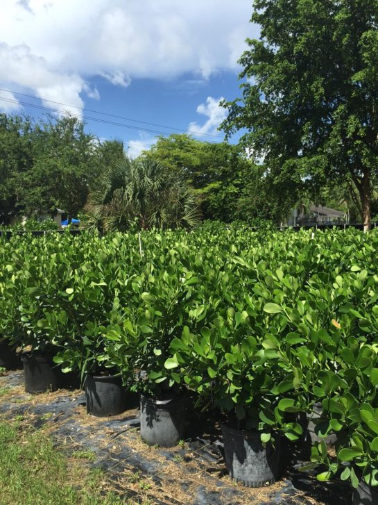 in this article learn about clusia miami and how to care for your clusia plant in miami